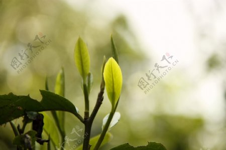 普洱茶树叶图片