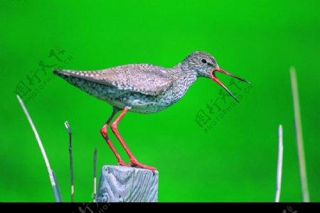 鸟儿在唱歌图片