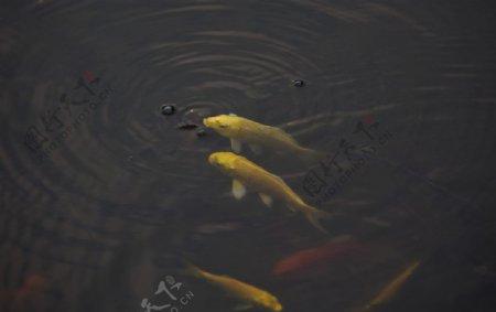 小金鱼图片