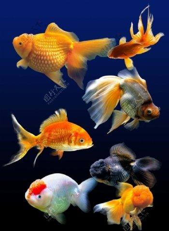 金鱼素材图片