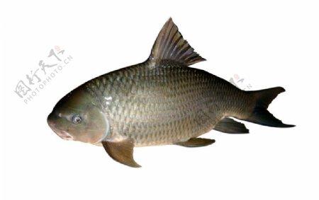 鱼鱼素材图片