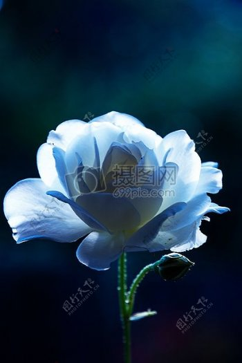 盛开的蓝玫瑰