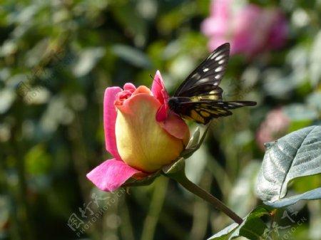 唯美玫瑰花上蝴蝶图片