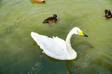 春江水暖游泳的白色天鹅