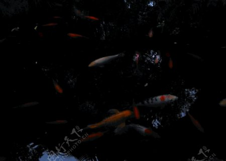 鱼儿鲤鱼锦鲤自然