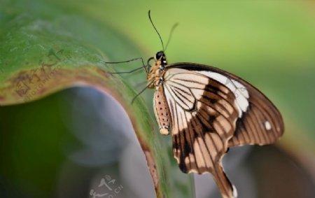 灰色花纹蝴蝶