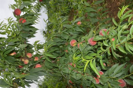 桃子桃树桃树枝红桃