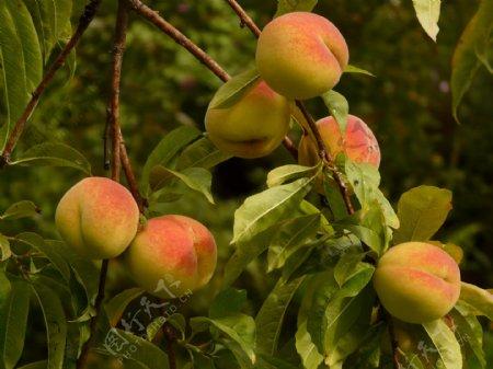 桃子桃树野桃水果野果