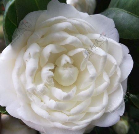 白色山茶花图片
