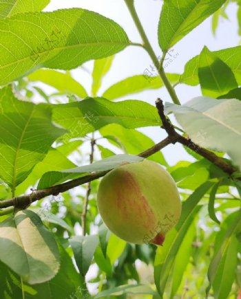 桃子桃树叶图片