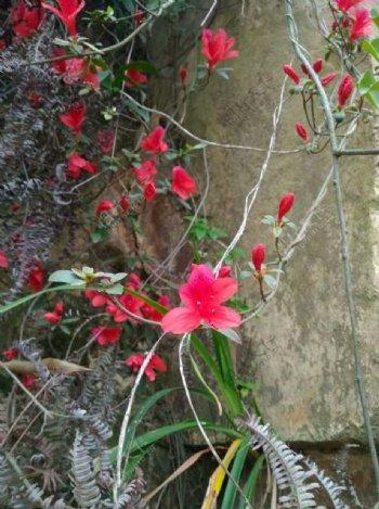 西山岩杜鹃花图片