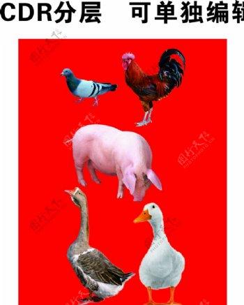 家禽家畜鸡鸭鹅图片