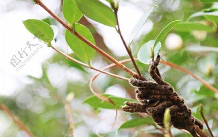 茶树毛毛虫图片