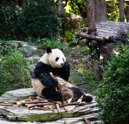 熊猫吃竹笋图片