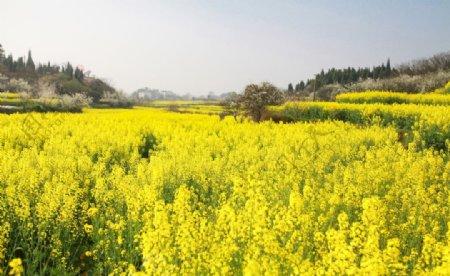 春天油菜花自然风景户外摄影图片