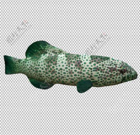 绿珊瑚石斑鱼图片