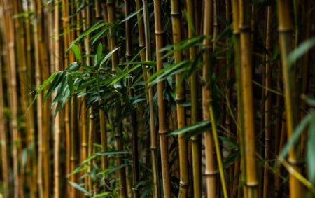 春天下雨后绿色竹子图片
