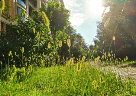 马尾草的夏天图片