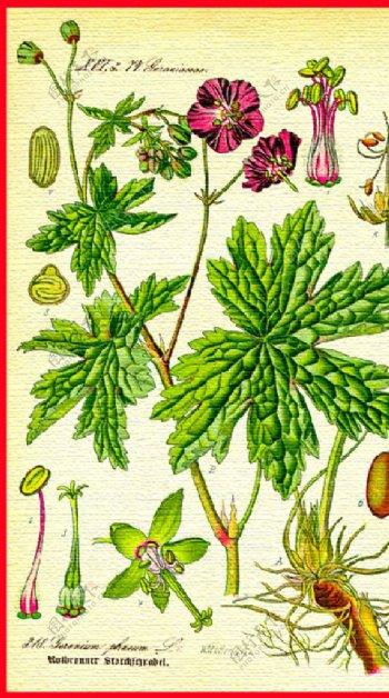 手绘花卉花朵植物图片