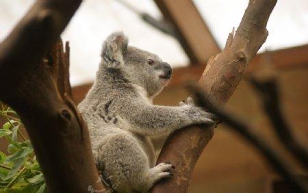 树枝上可爱憨厚的考拉图片