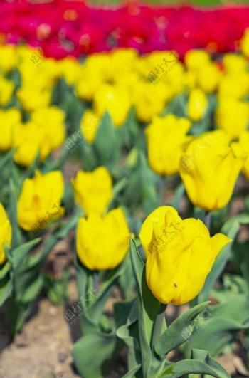 黄色的郁金香图片