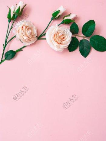 粉色底板上的玫瑰图片