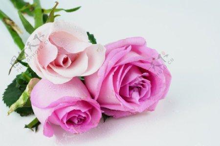 情人节爱情玫瑰图片