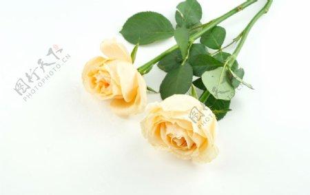 黄色玫瑰花花束拍摄素材图片