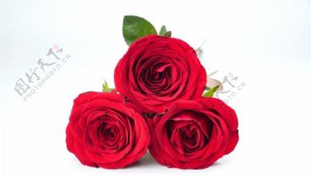 红色美丽的玫瑰花摄影图图片