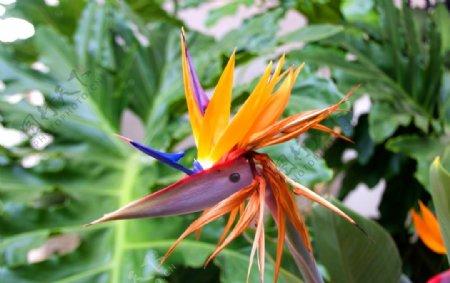 鹤望兰鲜花图片