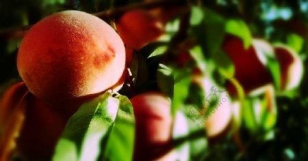 桃树上的桃子图片