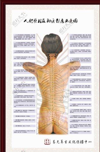 人体脊柱对应反射区挂图图片