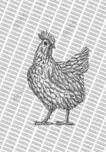 素描鸡图片