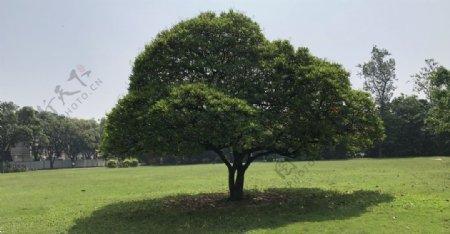 桌面壁纸一颗大树图片