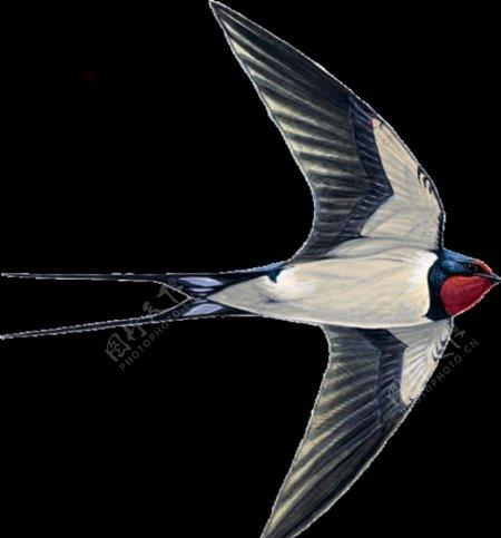 燕子素材鸟类模板PNG模版图片