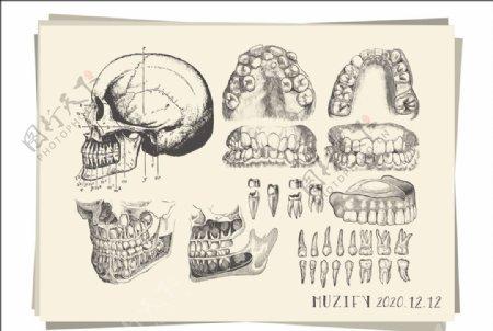 10款入牙齿骨骼素描画图片