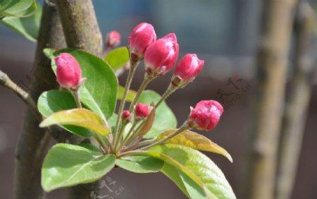 北方园林植物西府海棠的花朵图片