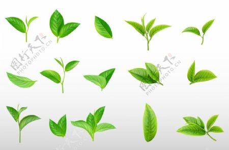 茶叶绿叶图片