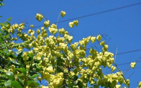 栾树的果实蒴果图片